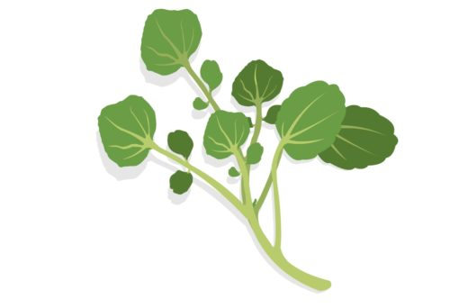 Nutritious-Vegetables-Watercress-CircleCare